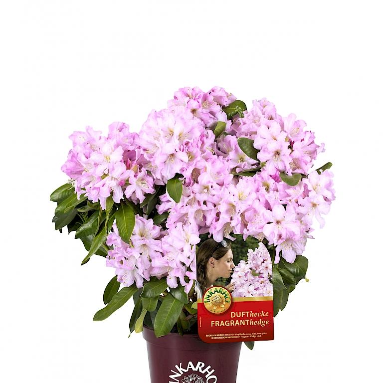 neuheit rhododendron inkarho dufthecke rosa harries plantdesign. Black Bedroom Furniture Sets. Home Design Ideas