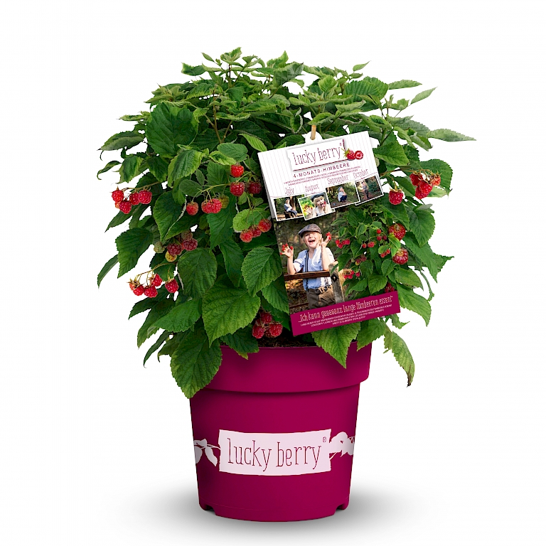 4-Monats-Himbeere Lucky Berry® auffällig am Point of Sale