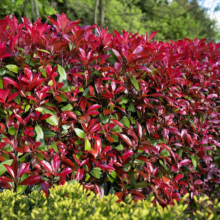 Red hedge dream with Photinia Devil's Dream®