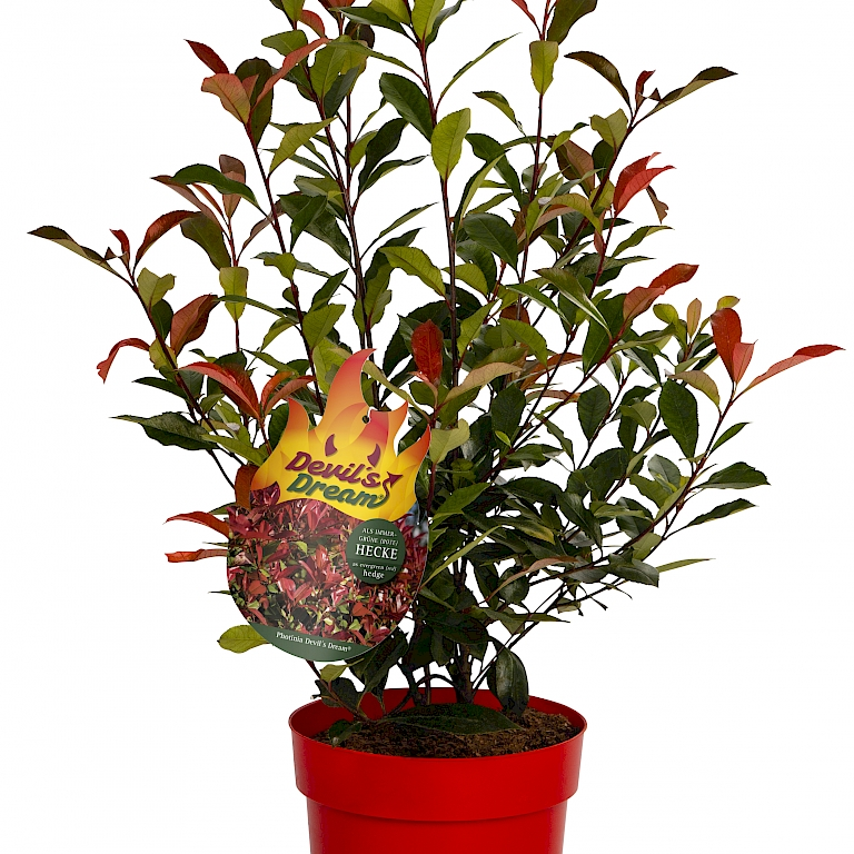 The red-leaved Photinia Devil's Dream® grows broadly bushy and loosely upright.